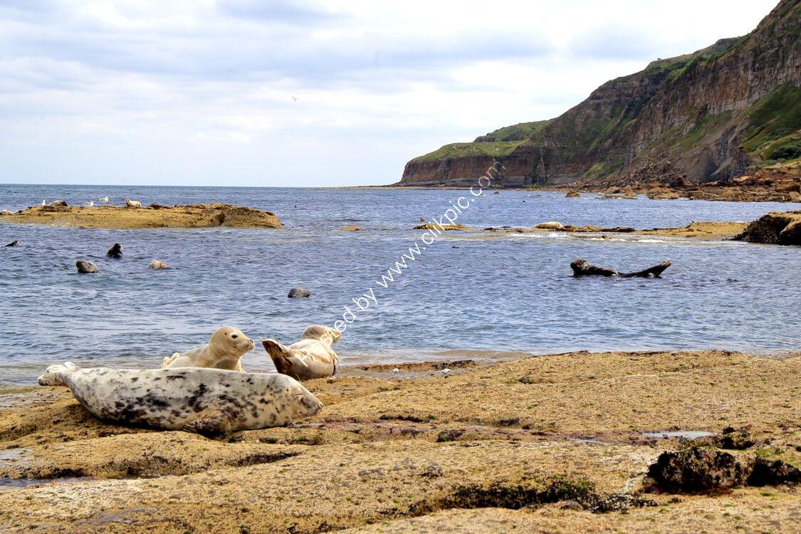 Seals on Ravenscar beach