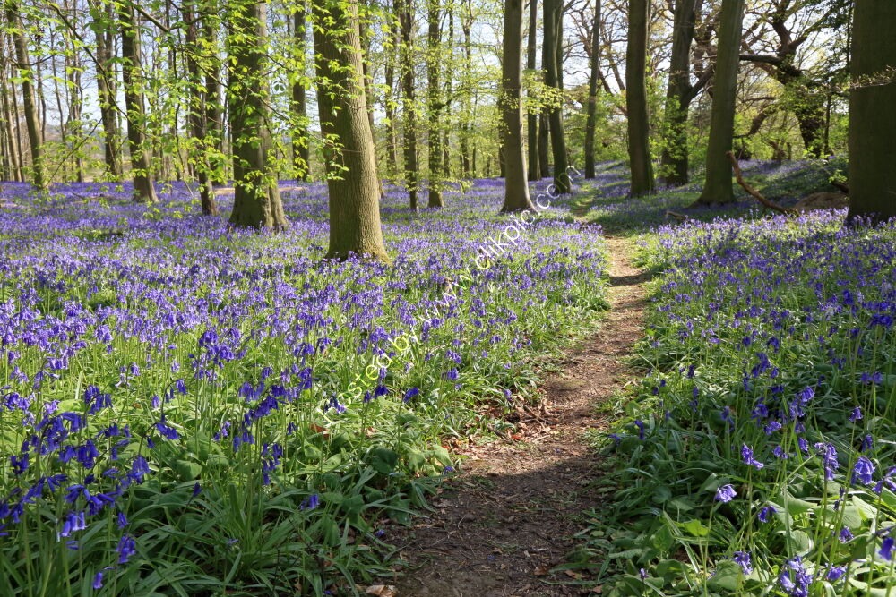 Bluebells in woods at Rougemont Castle, Weeton
