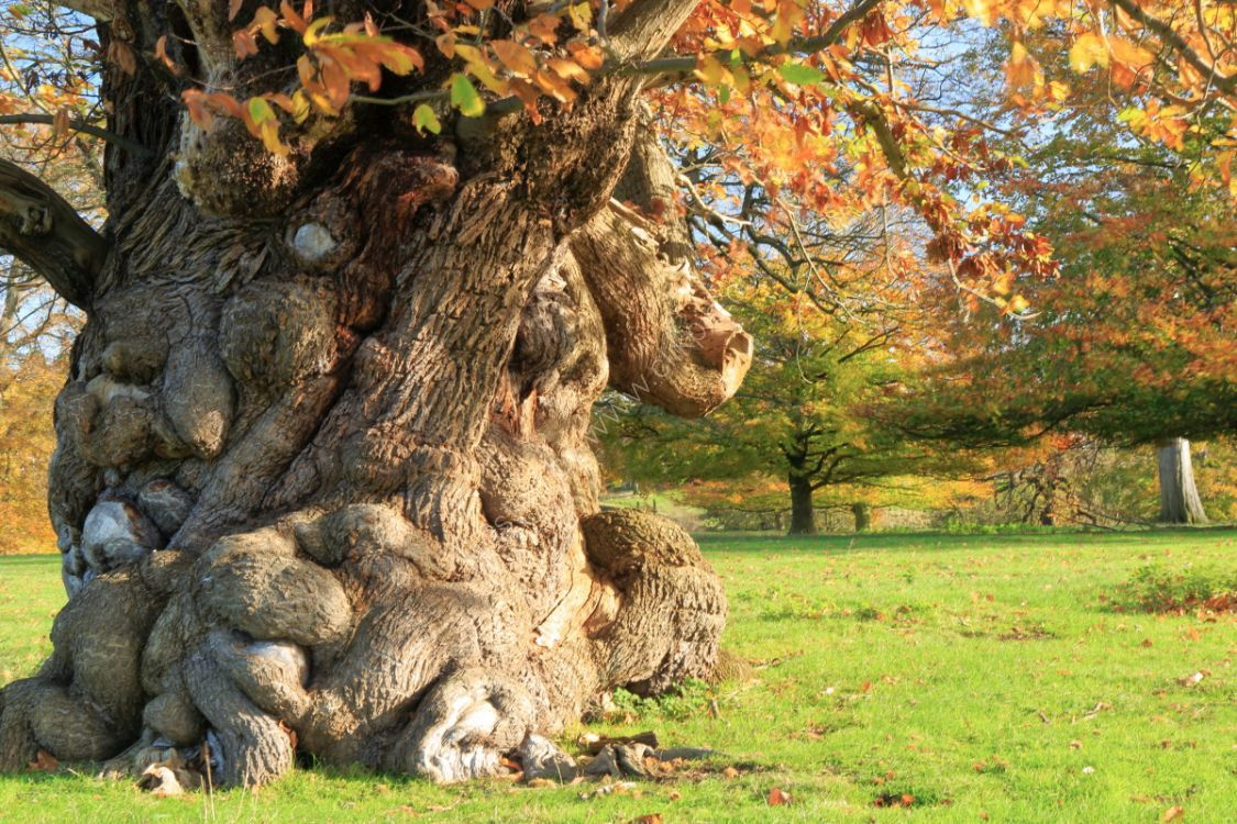 Ancient tree in Ripley Castle deer park, autumn