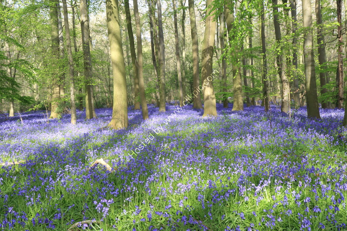 Bluebell wood at Rougemont, Weeton, Wharfedale