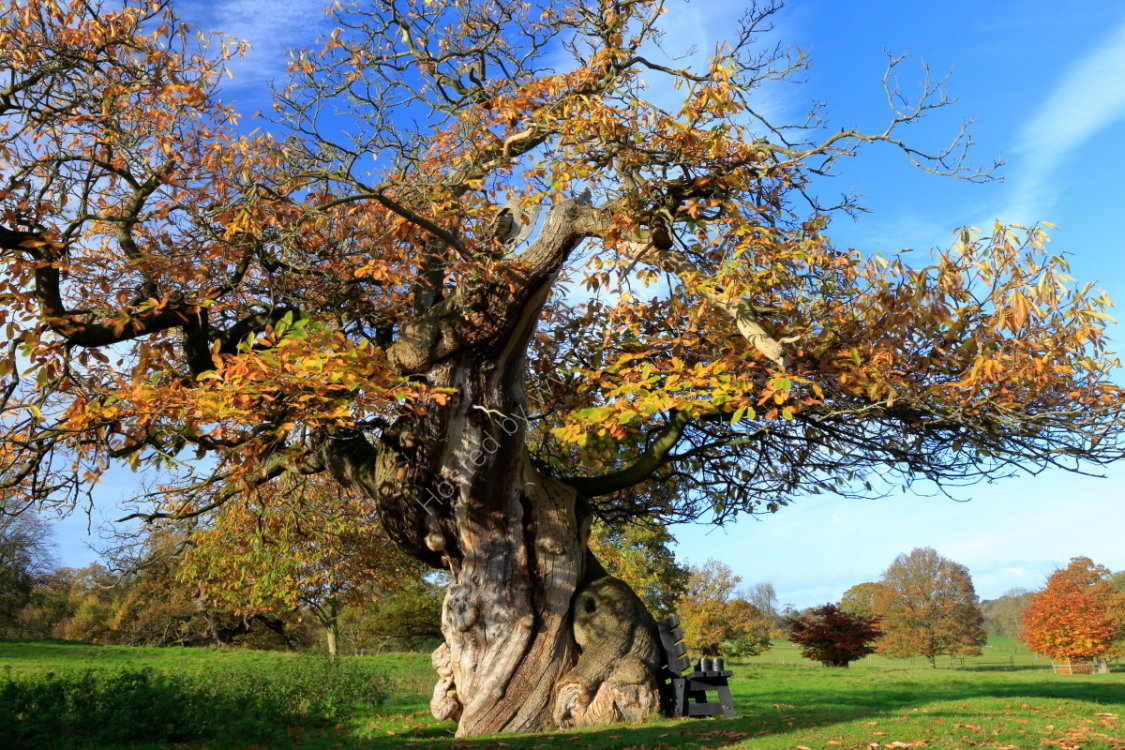 Ancient tree in Ripley Castle deer park