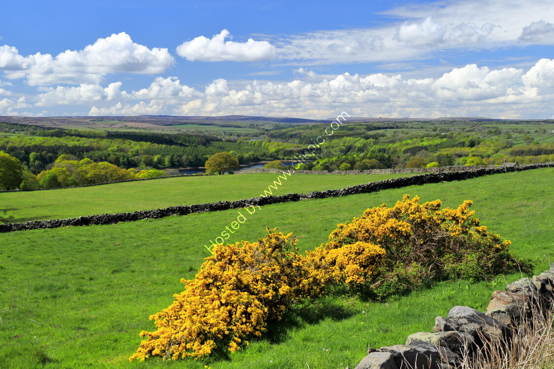 Gorse in Washburndale, with Swinsty Reservoir, from Norwood