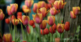 Tulips, Edwards Gardens, Toronto, Canada