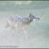 146-Coyotee, Yosemite National Park, USA