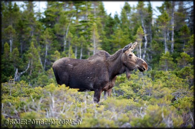 Moose, Cape Breton Island, Canada