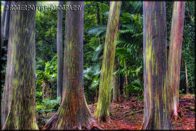 roger potts photography rainbow eucalyptus tree maui