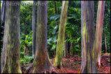 Rainbow Eucalyptus Tree, Maui