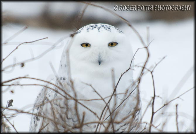 Snowy Owl outside Toronto
