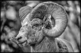 Bighorn Sheep, Alberta, Canada