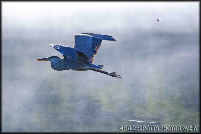 Great Blue Heron, Muskoka, Ont. Canada