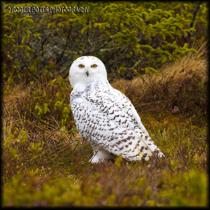 Snowy Owl, Newfoundland