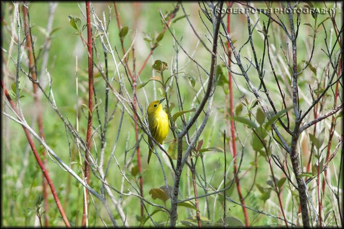 Yellow Warbler Outside Toronto
