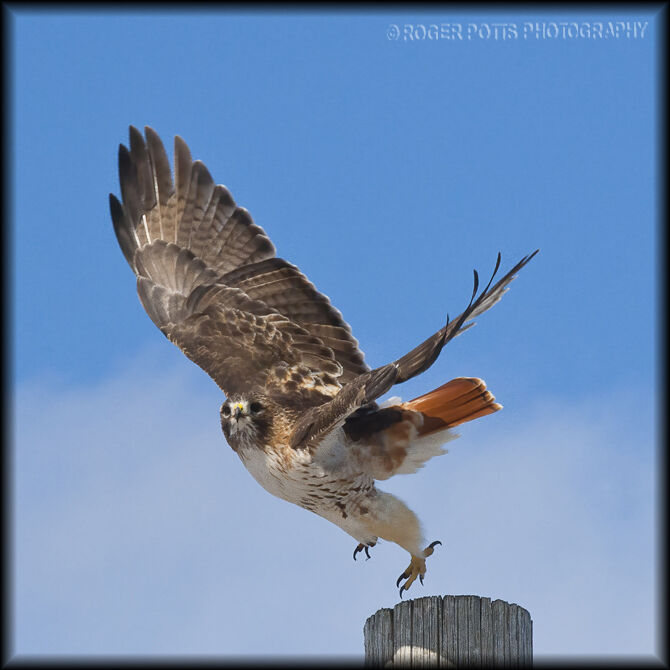 Red Tail Hawk Launch