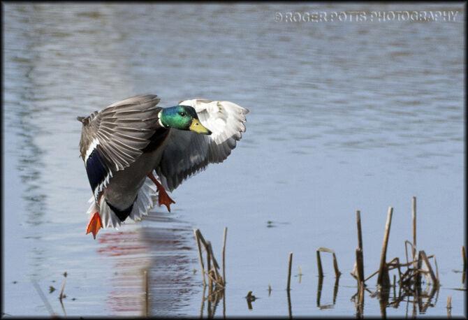 Mallard Duck slamming on the brakes