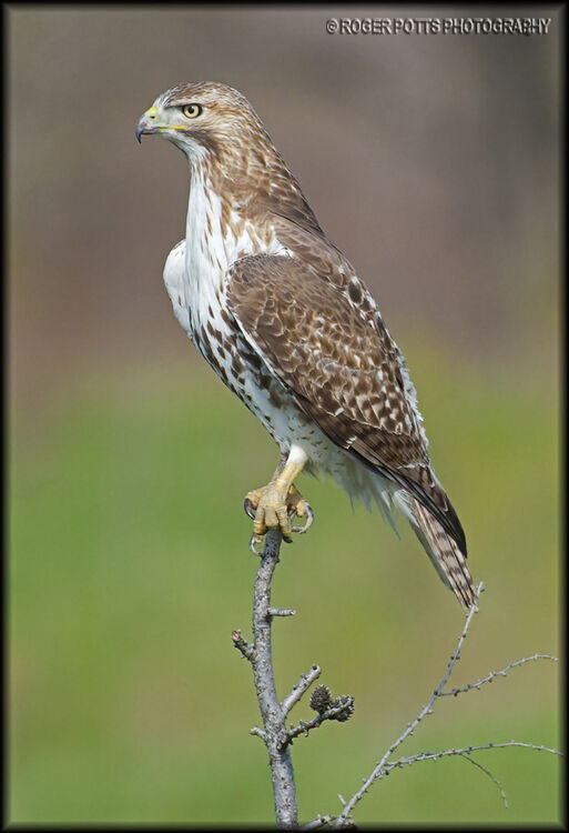 Red Tail Hawk Perched