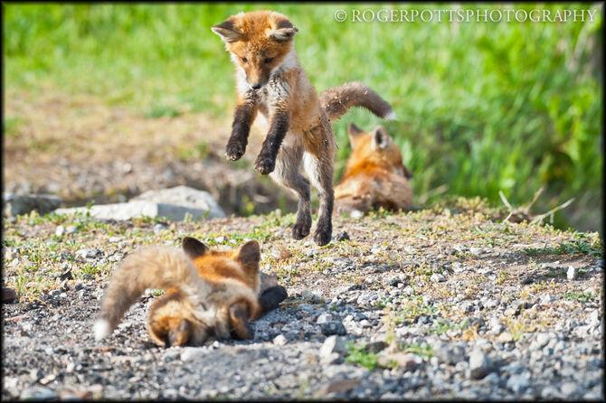 Fox Kit Leap, Toronto, Ontario