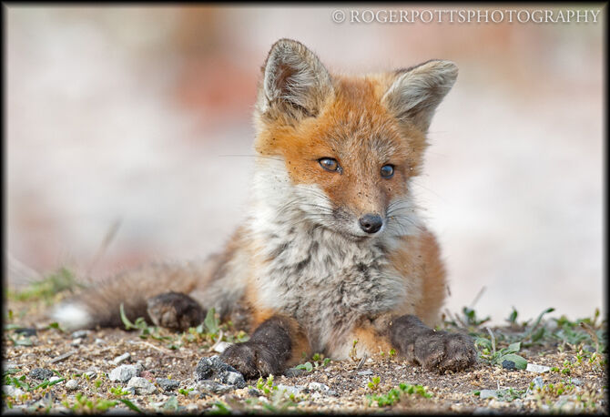 Fox Kit after wrestling match with siblings, Toronto, Canada