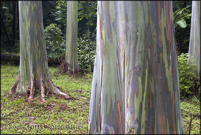 Eucalyptus Tree, Maui, Hawaii