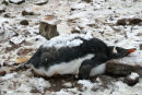 Penguin chick and snow