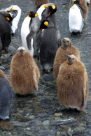 Penguin and chicks