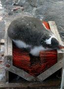 Chick on Port Lockroy boot scraper