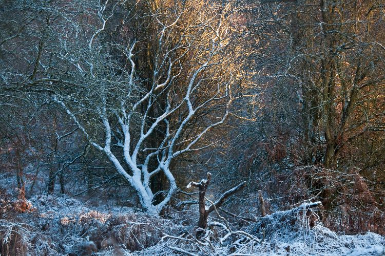 Cannock Chase Fine Art Winter Tree Series cc7988a