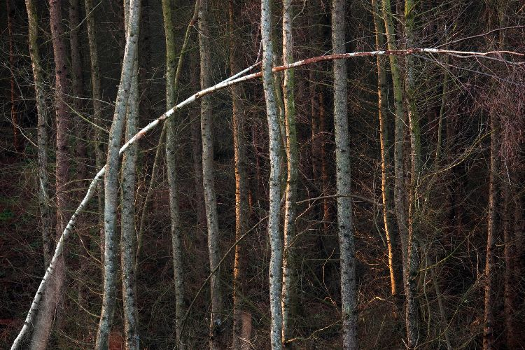 Cannock Chase Fine Art Winter Tree Series cc7989