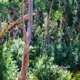 Gum Trees (2) Grampians