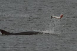 Dolphin Regurgitating a Salmon 2