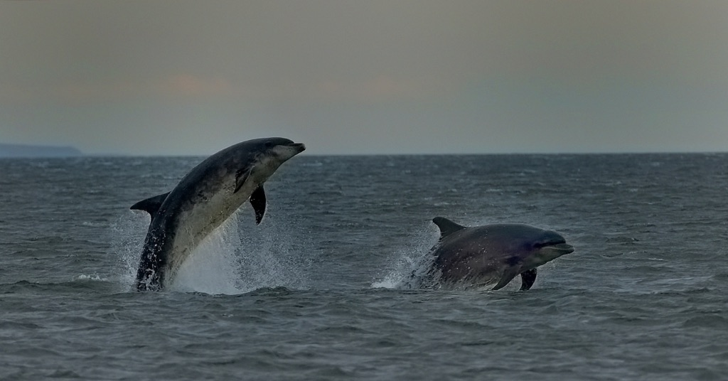 Breaching Dolphins
