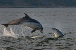 Dolphin Breaching and Juvenile