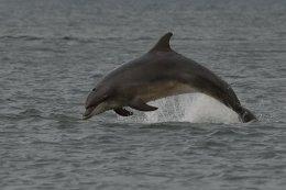 Dolphin Breaching 7