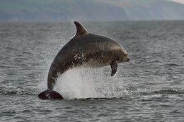 Dolphin Breaching 8