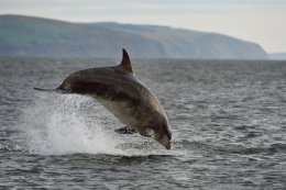 Dolphin Breaching 9