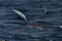 Dolphin Catching a Salmon