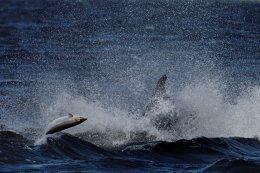 Salmon Evading a Dolphin