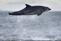 Dolphin Breaching 1