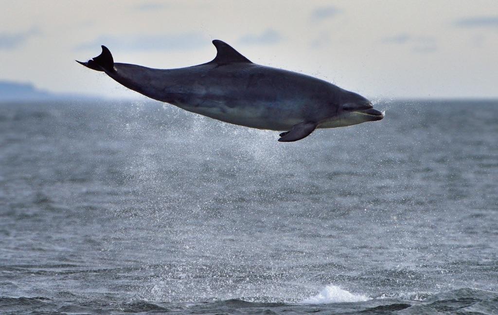 Dolphin Breaching 2