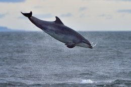 Dolphin Breaching 3