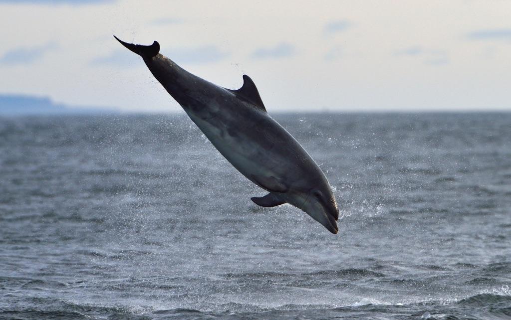 Dolphin Breaching 4