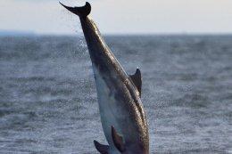 Dolphin Breaching 6