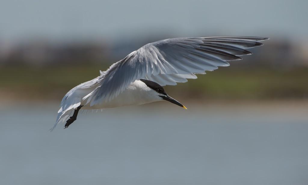 Sandwich Tern 2