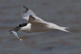 Sandwich Tern 3