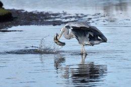 Heron Catching an Eel