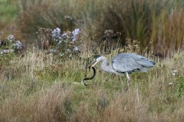 Heron Eating an Eel 1