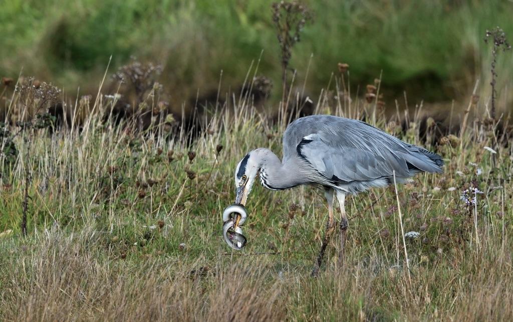 Heron Stabbing an Eel