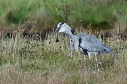 Heron Eating an Eel 2