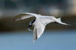 Sandwich Tern 4