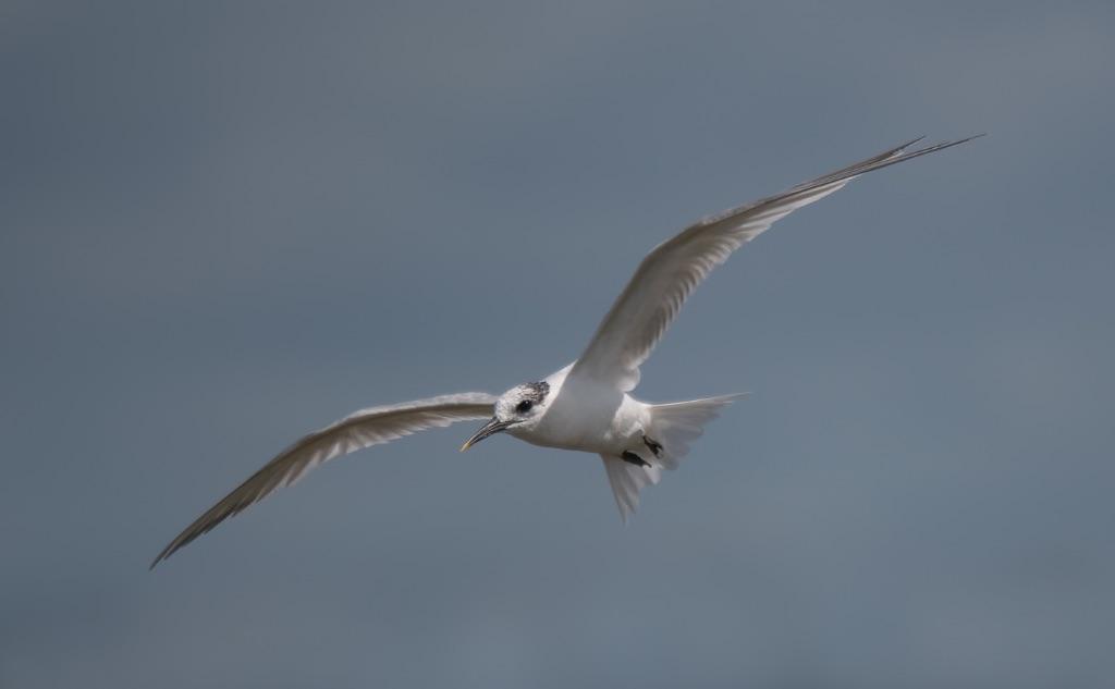 Sandwich Tern 6