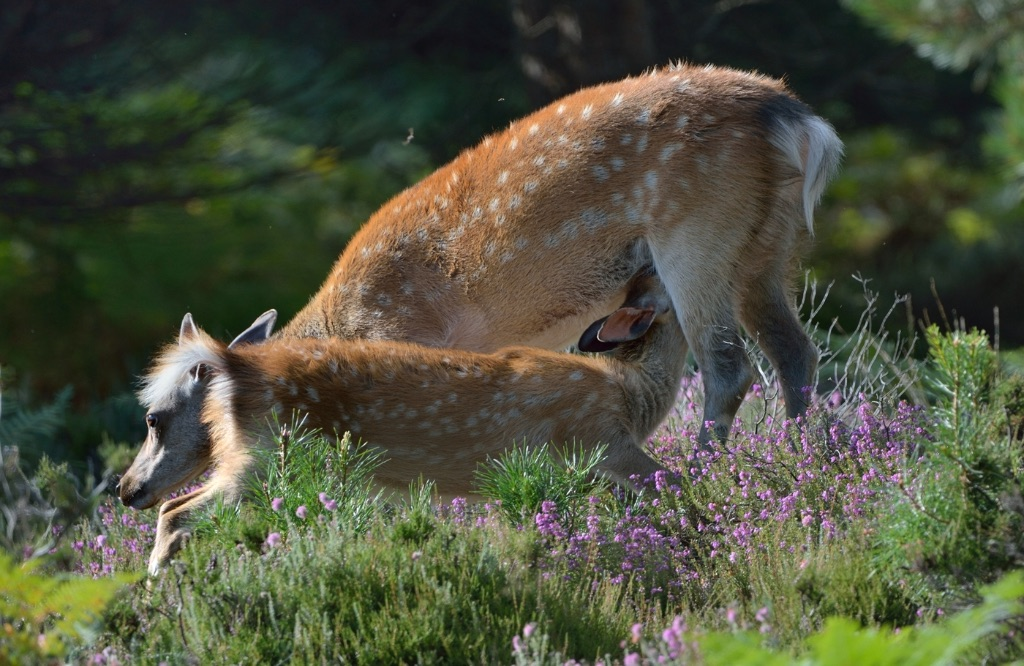 Sika Hind and Fawn